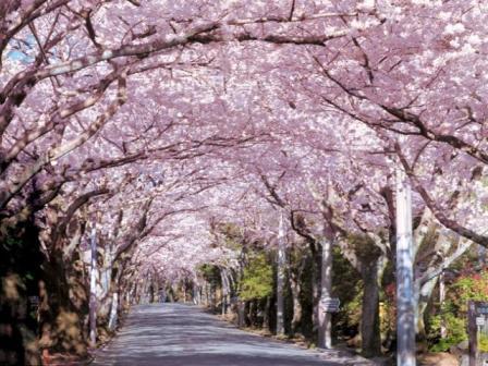 伊豆高原の桜のトンネル