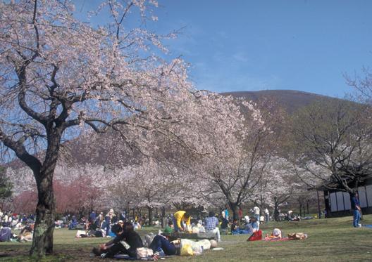 第36回伊豆高原桜まつり