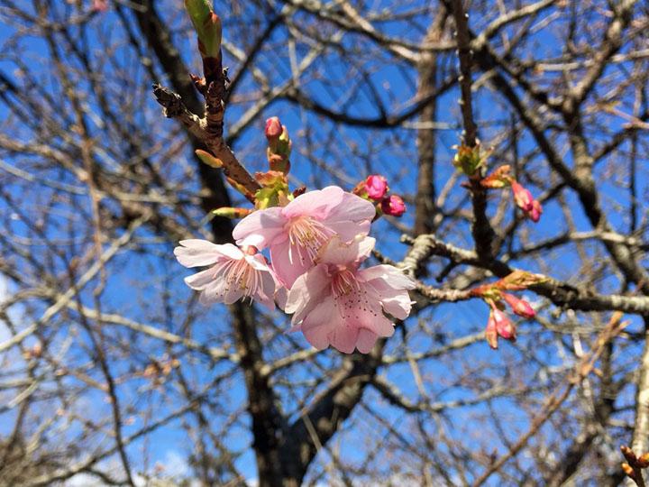 20170116-sakuranosato170113-2.jpg